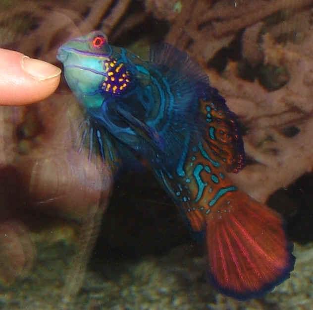 Mandarinfisch for Zierfische lexikon